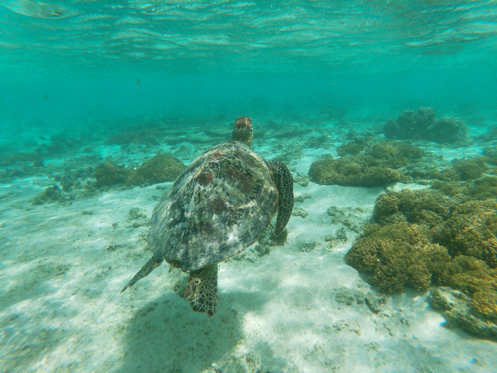Tortue Snorkelling