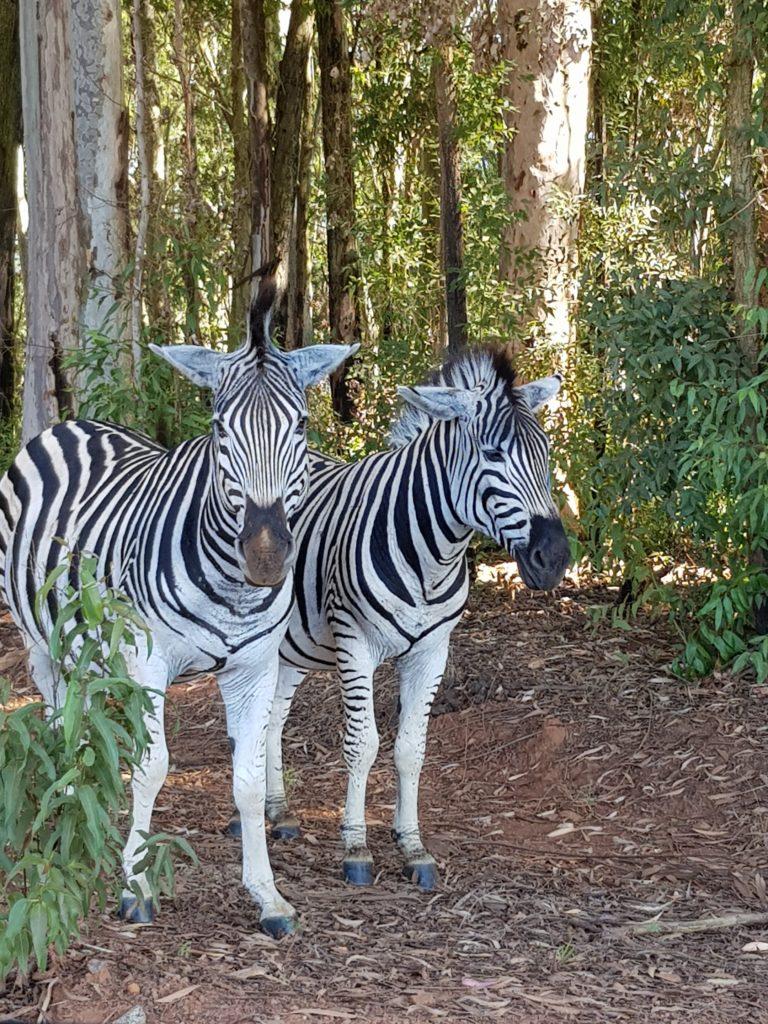 Zèbres Swaziland