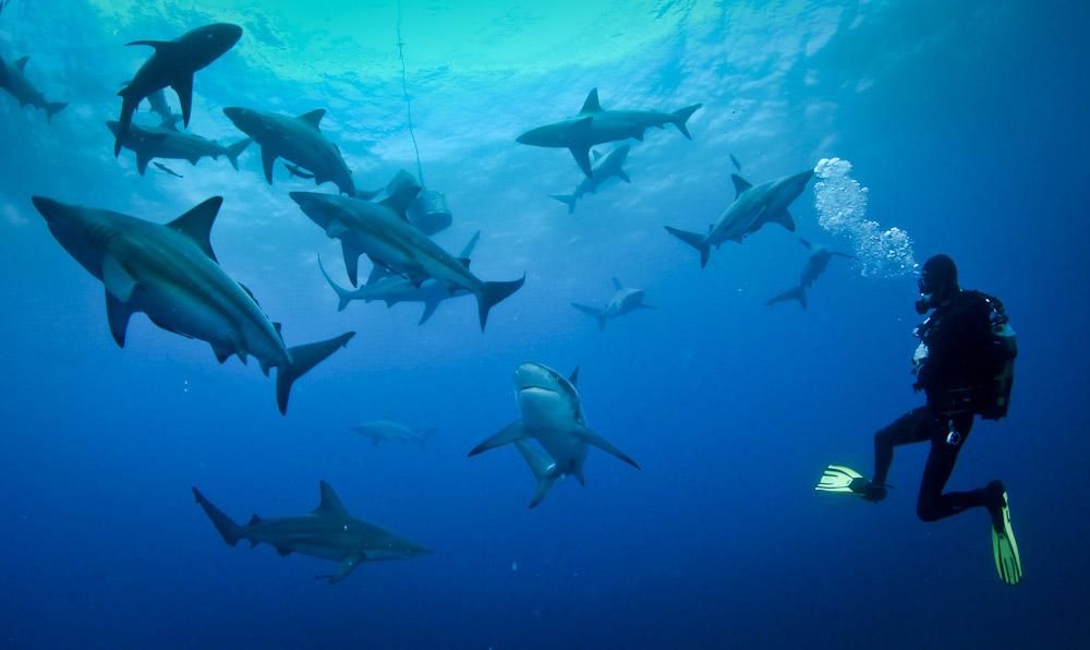 Baited Shark Dive Aliwal Shoal