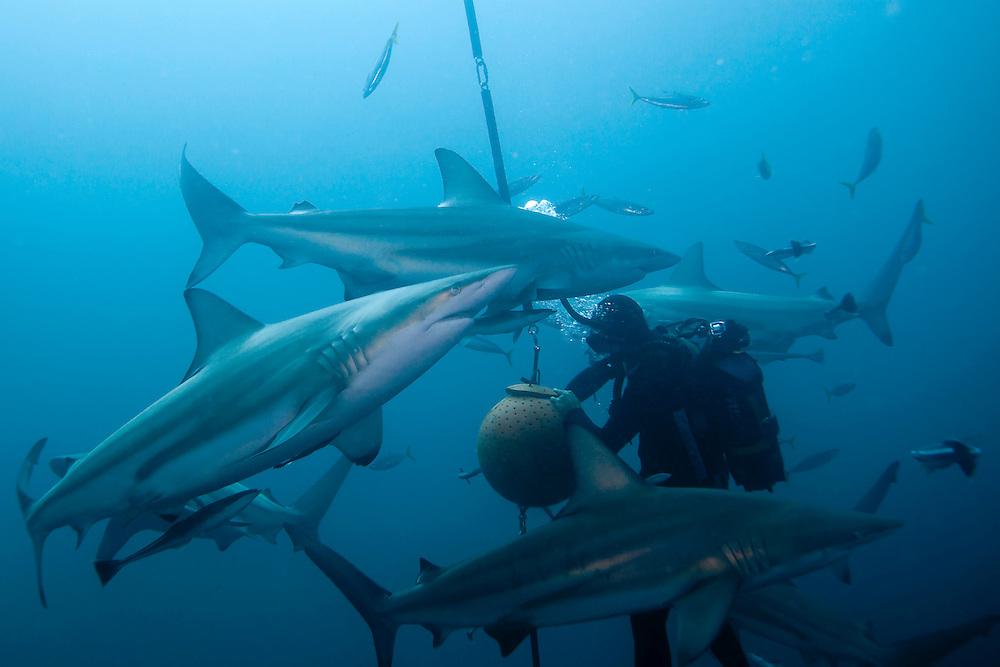 Baited Shark Dive Umkomaas