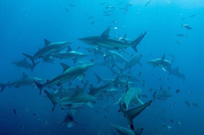 Requins Aliwal Shoal