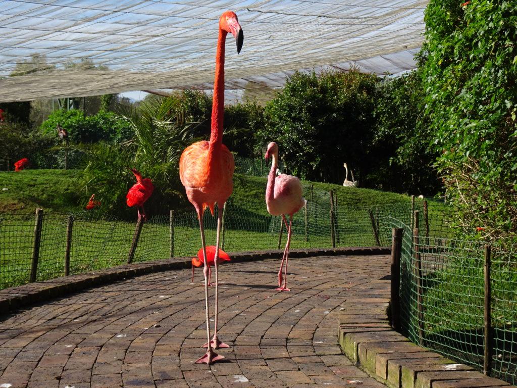 Flamand Birds Of Eden